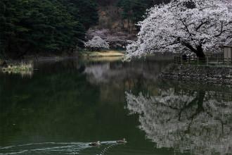 桜の名所千鹿頭池