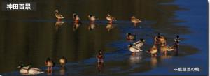 千鹿頭池の鴨