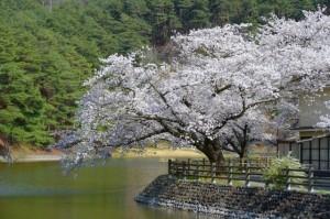 千鹿頭の桜
