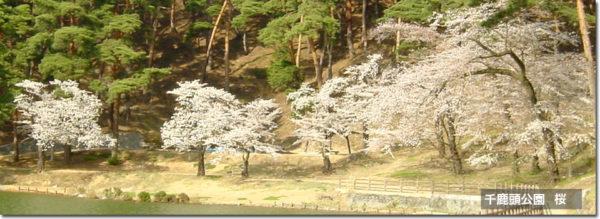 千鹿頭池 桜