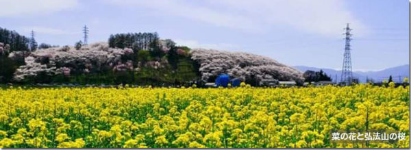 菜の花と弘法山の桜