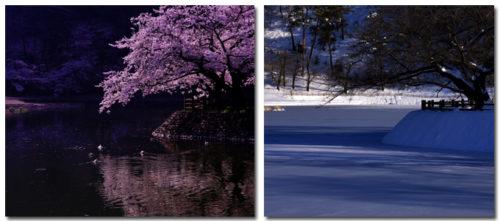 春の桜と冬の千鹿頭池