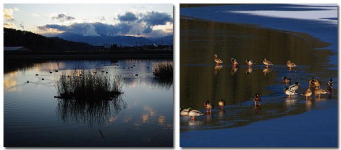 千鹿頭池を泳ぐ鴨