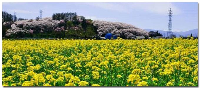 菜の花と弘法山