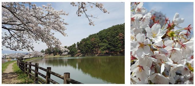 町内に咲く桜