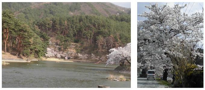 千鹿頭池畔の桜と鴨