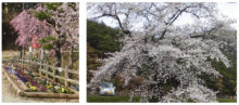 千鹿頭池畔の桜と花々