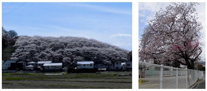 弘法山の桜と保育園の桜