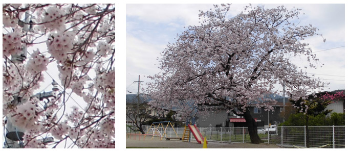 神田保育園の桜
