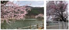 千鹿頭池の桜と保育園の桜