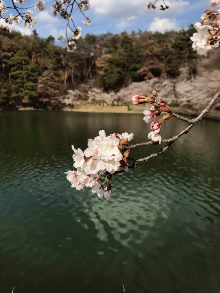 千鹿頭池の桜
